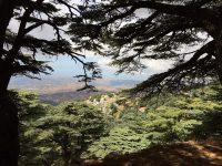 Like a Cedar in Lebanon